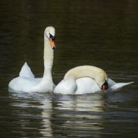 Swans 2014 1 1 by melrissbrook
