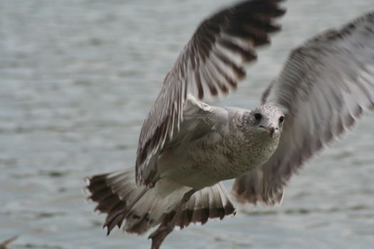 Seagull in flight by odseraphim