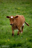 Calf by aseaofflames