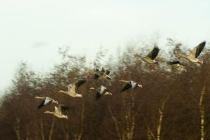 A flight of geese... nose in the same direction... by steppeland