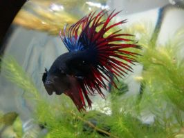 Samson (Walmart Crowntail Betta) by Sashy42