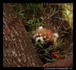 Red Panda IV by TVD-Photography