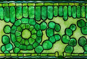 Stylized cross-section of leaf by elizabethnixon