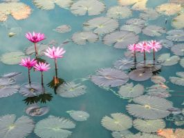 Water Lily 02 by cemacStock