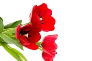 Red tulips by MoCity
