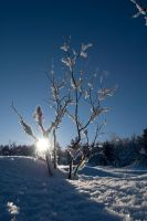 Winter: Snowy Plant II by SilentXeno