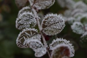 Frosted Leafs by wuestenbrand