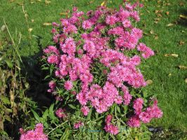 pink flowers by maryllis-stock
