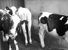 Holstein Heifers by inspirational-dreams