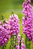 Foxgloves by Britwitch-1981