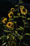 Sunbacked Sunflowers by FlowerFreak