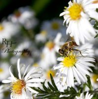 Bee at work by Solanaceae85