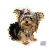 Yorkshire terrier by ntora