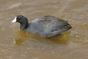 American Coot by PatGoltz