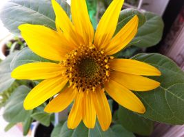 Little sunflower by 31december1975