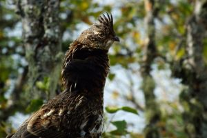ruffed grouse by hsbzh