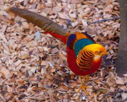 Golden Pheasant by deseonocturno