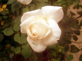 Delicate Rose by POETRYTHROUGHLENS