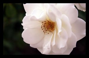 White Rose by Abfc