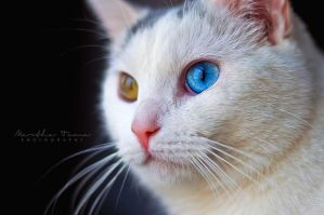 Winnie the Heterochromic Kitty IX by MarthaTuma