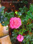 pink dreamy roses by limegreenguitar