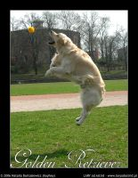 Jumping Golden Retriever by hayhey