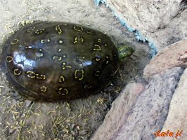 indian spotted pond turtle by sheereenabba