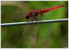 Red dragonfly by KlaraDrielle