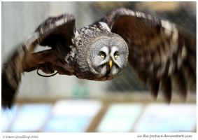 Great Grey Owl Flight by In-the-picture