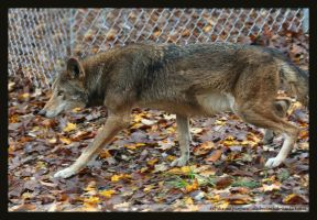 Red Wolf M1483 by causticxace