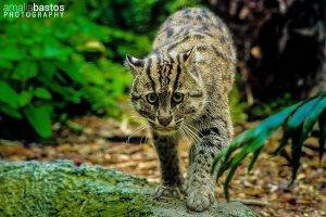 Fishing Cat by amaliabastos