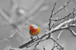 Melba Finch - Wild Birds - Selective Coloring by LivingWild