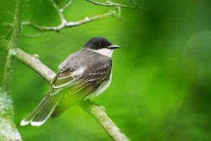 Eastern Kingbird by Kintarotpc