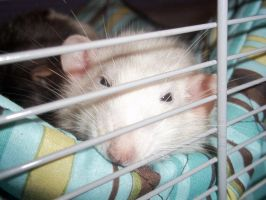Sleepy Rat by Kaikoura