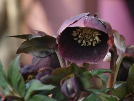 Lenten Rose Stock 16 by botanystock