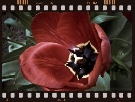Tulip on film by LightShooter