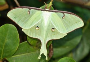 The Magnificient Luna Moth by AdARDurden