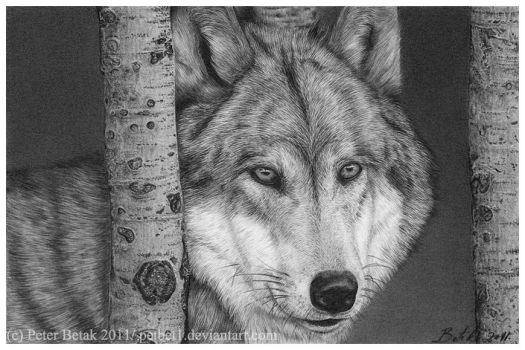 Wolf by petbet1