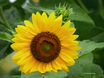 Dew Touched Sunflower by Mogrianne