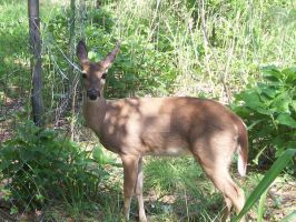 Brown WhiteTail Deer 3 by Outsider767