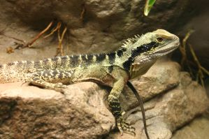 Lizard 2 by wolfphotography