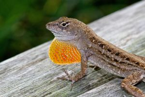 Anole Flasher by FallOut99