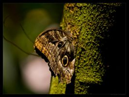 Brown Butterfly by FT69
