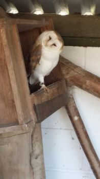 Barn Owl by Secrets-Are-Quiet