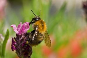 Busy bumble-bee reloaded by duncan-blues