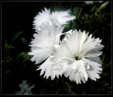 Wet Dianthus by JocelyneR