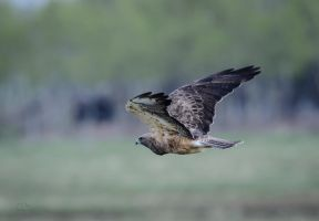 Swainson's Hawk - Cruising by JestePhotography