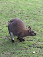 Stock - Wallaby 1 by ladykraut