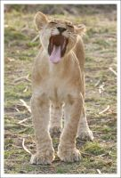 Lion Cub - 2814 by eight-eight