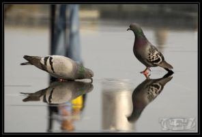 Pigeon and water by tezdesign